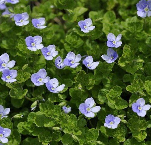 Veronica Georgia Blue