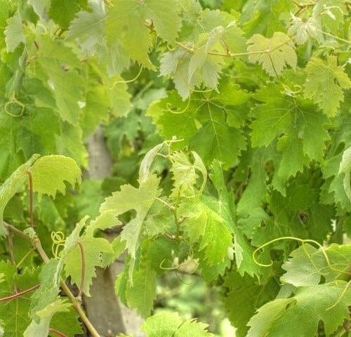 Vitis Vinifera - Ornamental Grapevine