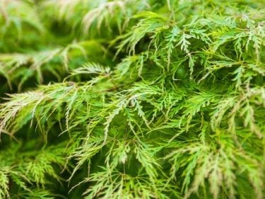 Acer Dissectum Filigree - Green Weeping Japanese Maple