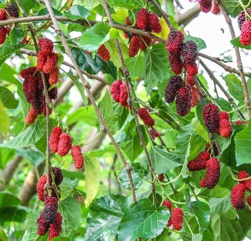 Morus Alba Pendula - The Weeping Mulberry