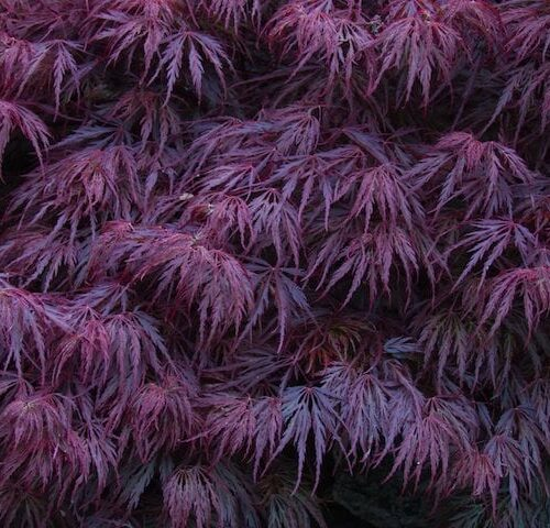Acer Palmatum Dissectum - Red Weeping Japanese Maple