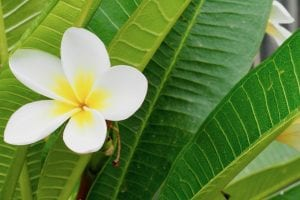 how to grow and care for Frangipanis