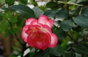 How to care for & grow roses