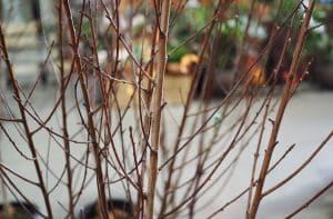 How to grow and care for Bare Root Trees?