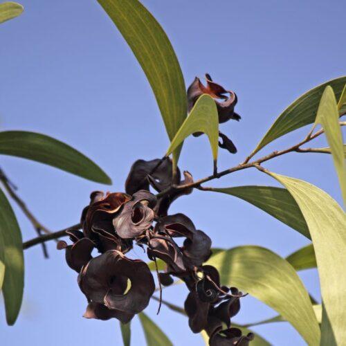 Acacia implexa Lightwood