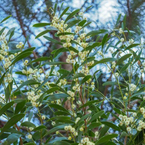 Acacia melanoxylon Blackwood