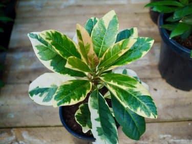 Pisonia brunoniana variegata