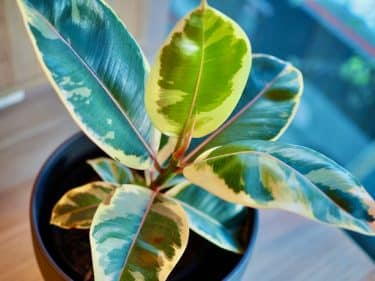 Ficus Variegata White Pink