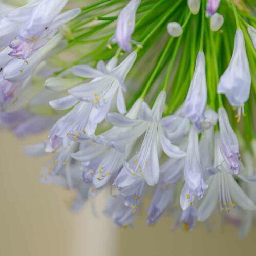 Agapanthus Lilibet