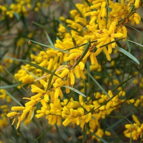 Acacia floribunda - Gossamer Wattle