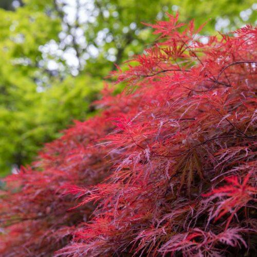 Acer Palmatus Dissectum - Inaba Shidare