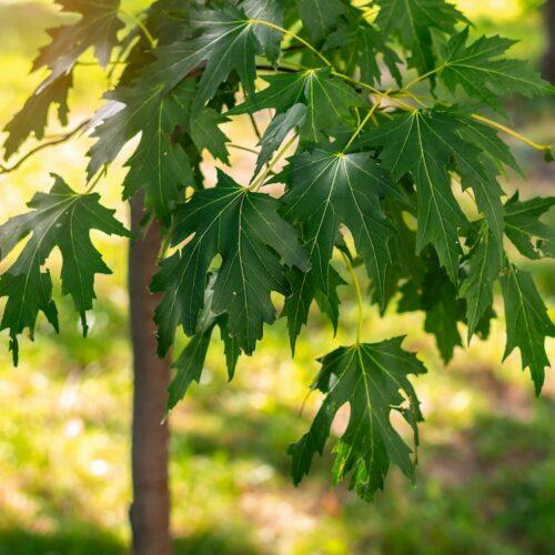 Acer Sachharinum - Silver Maple