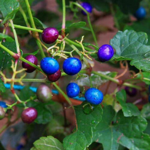 Ampelopsis Porcelain Berry