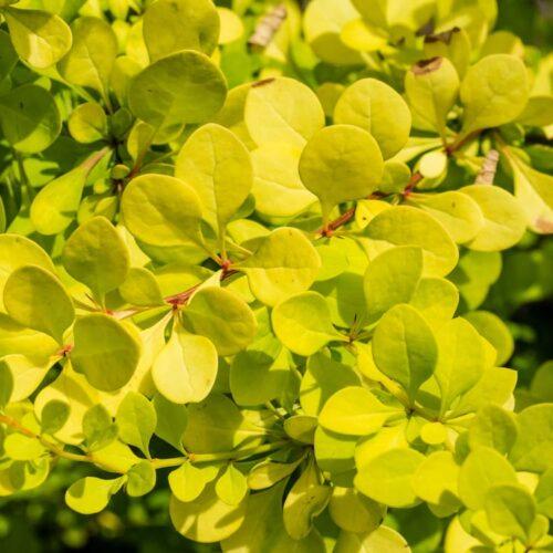 Berberis thunbergii - Golden Nugget
