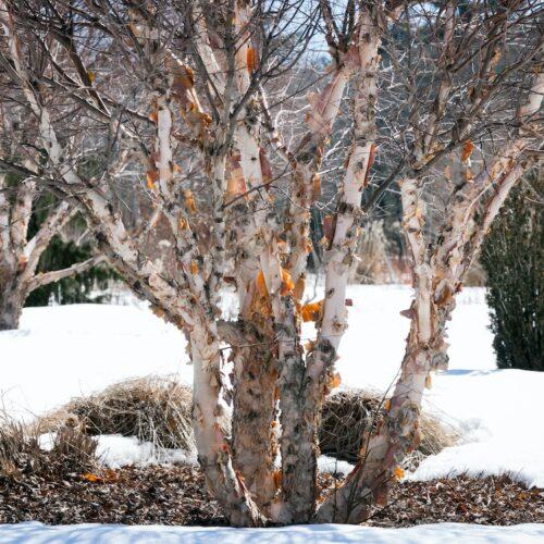 Betula nigra - River Birch