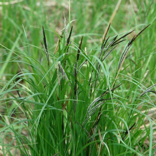 Carex Appressa