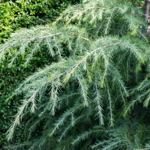 Cedrus deoara - Himalayan Cedar