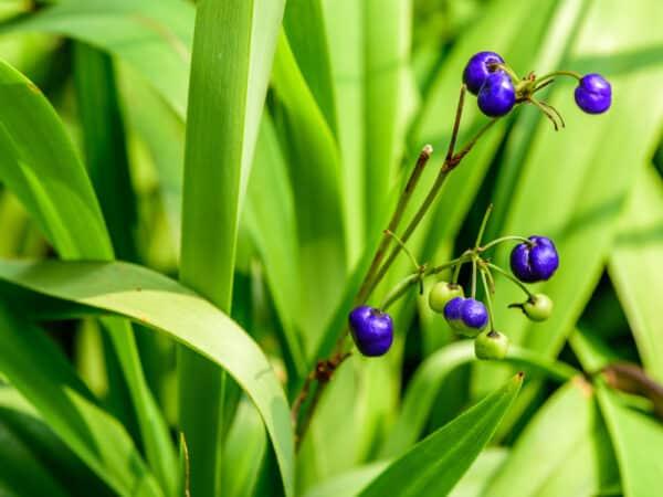 Dianella Tasmanica - Tasmanian Flax-lily