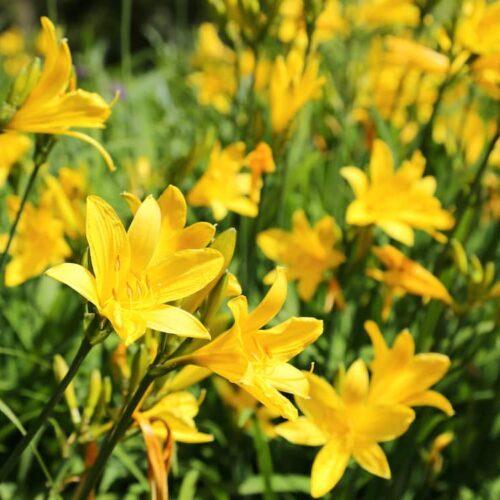 Hemerocallis - Day Lily