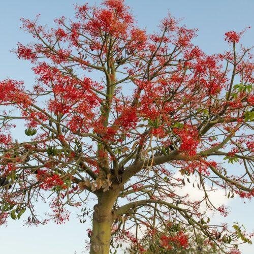 Brachychiton acerifolius-Illawarra Flame Tree