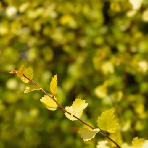 Betula pendula Wades Golden Birch